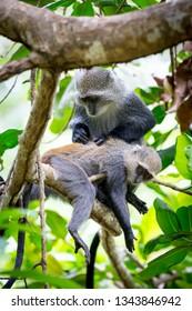 Two monkeys on green tree in forest
