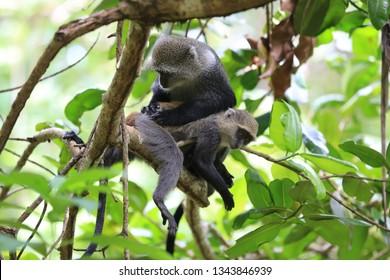 two monkeys on tree in forest, zanzibar