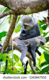 two monkeys on tree in jungle, zanzibar