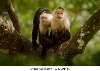 Two  monkeys on tree. White-headed Capuchin, black monkey sitting on tree branch in the dark tropical forest. Wildlife of Costa Rica. Travel holiday in Central America. Open muzzle with tooth.