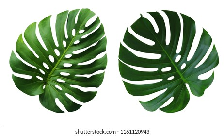 Two Monstera Deliciosa leaves or Swiss Cheese Plant leaf texture, a large evergreen tropical jungle palm leaf with hole pattern isolated on white