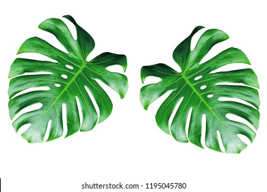 two monstera leaves isolated on white background.