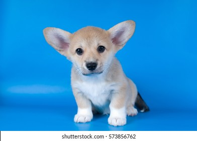 Two month Pembroke Welsh Corgi purebred puppy on blue background looking at camera