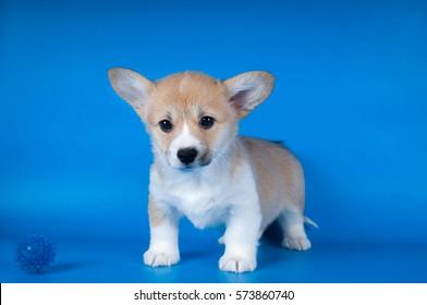 Two month Pembroke Welsh Corgi purebred puppy on blue background
