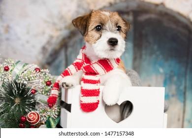 Chien de marionnette de deux mois, Jack Russell terrier, assis dans une boîte, chien de Noël