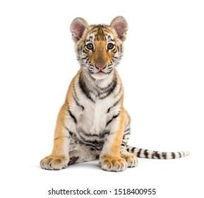 Zwei Monate alter Tigerbecher auf weißem Hintergrund