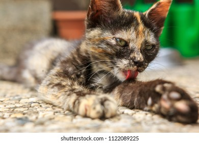 Two months young calico kitten lying on the floor grooming herself