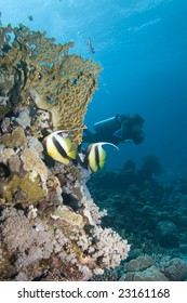 Two Moorish Idols and a diver in the background on a reef in the Red Sea