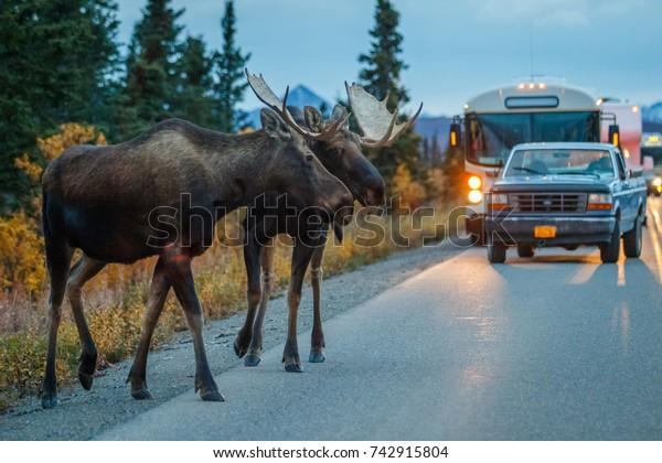 Two moose bulls crossing road in Denali NP