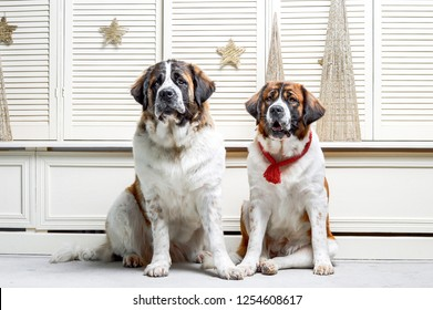 Two moscow watchdogs are sitting on the white floor in the studio