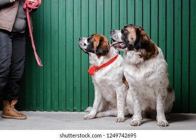 Two moscow watchdogs sitting in the studio and looking at the owner with the leash
