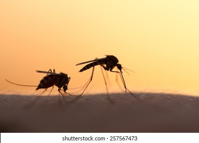 two mosquitos on human skin at sunset