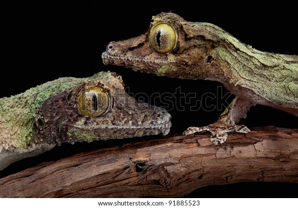 Two mossy leaf-tailed geckos are close to each other on a vine.