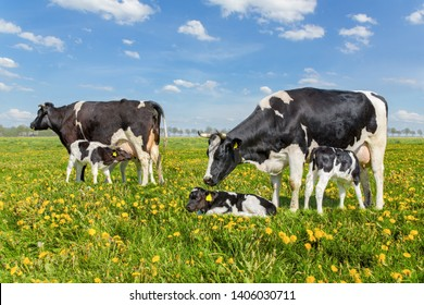 Two mother cows with drinking calves in european pasture