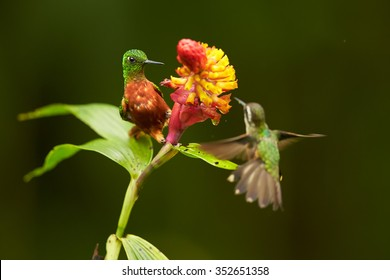 Two mountain hummingbirds, shining green Chestnut-breasted Coronet and Speckled hummingbird in fight about red and yellow flower.  Blurred dark green background. San Isidro wet forest, Ecuador.