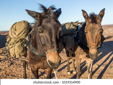 Two Mules Packed