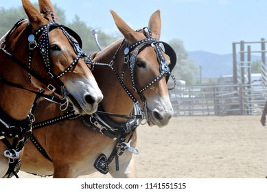 Two mules at show in a fairgrounds arena.