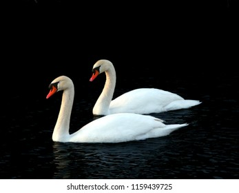 Two Mute Swans (Cygnus olor) float through icy waters in central Illinois