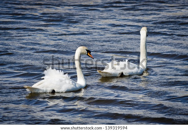 Two mute swans have their feathers ruffled by the wind while swimming in Pagham harbour nature reserve, West Sussex, England