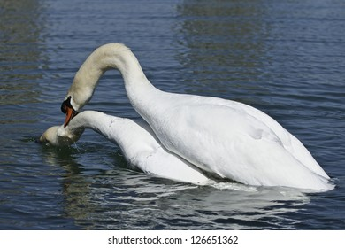 Two Mute Swans mating in open water.