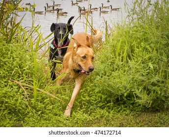 Two mutts, one black, the other beige, emerging from pond with Canada geese in background, with the beige dog running in the lead and the black following behind