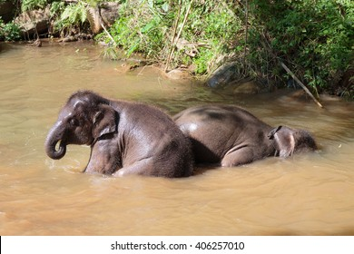 Two naughty baby elephants play and bath in the river under the morning sun.