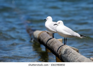 Two New Zealand Black Billed Gulls (Chroicocephalus bulleri) standing on a wooden fence post leading into the water of Blue Lake, North Island, New Zealand.