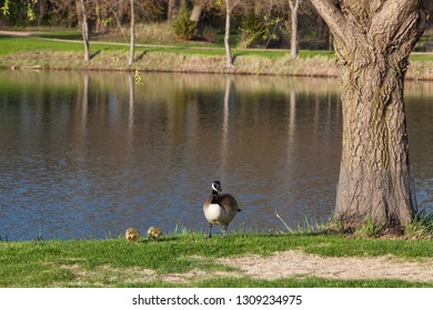 Two newborn baby chicks find food in the grass shore of a calm pond as one of their parents stands guard next to them.