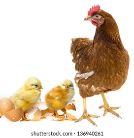 two newborn chickens and her mother hen