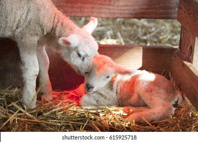 two newborn lambs on straw under red light of heat lamp on organic farm in the netherlands