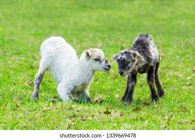 Two newborn lambs play together in green pasture during spring season