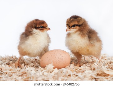 Two newly hatched chicks with an unhatched egg