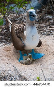 Two newly-hatched Blue-Footed Booby chicks shelter under their mother, however both the mother and the strongest chick will soon conspire to deprive the other chick of food, killing it.