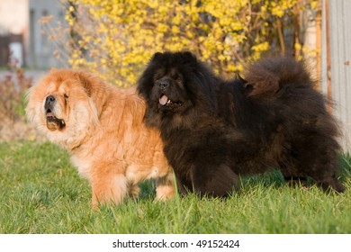 Two nice Chow-Chow dogs posing