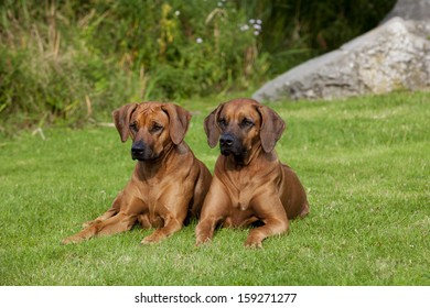 Two nice looking black nosed Rhodesian Ridgeback females are lying in the grass.