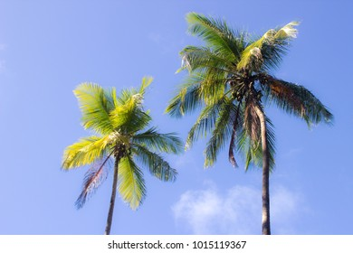 Two nice palm trees towering high above the ground at the beach in South America.