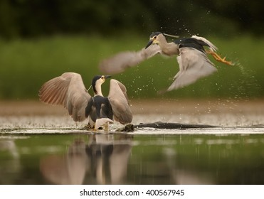 Two Night Herons, Nycticorax nycticorax, fighting together for territory. Outstretched wings, water drops, blurred background.