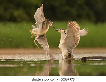 Two Night Herons, Nycticorax nycticorax, juvenile and adult, fighting together for territory. Outstretched wings, water drops, blurred background.