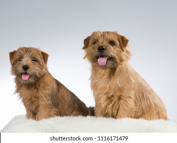 Two Norfolk terriers in a studio with white background.