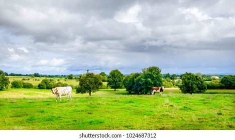 Two Normande heifers in a field at summertime, Normandy France