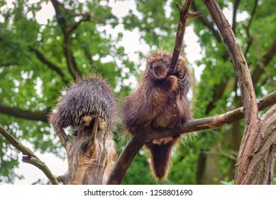 Two North American porcupine (Erethizon dorsatum), Canadian porcupine or common porcupine climb on the tree