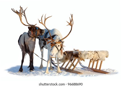 Two northern deer are in harness on white background.