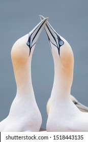 Two Northern Gannets (Morus bassanus) touching beaks to greet each other, Heligoland, Schleswig-Holstein, Germany