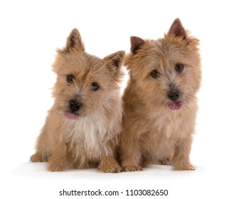 Two  Norwich Terrier Dog portrait stand sits lying down isolated on white background, looking at the camera.