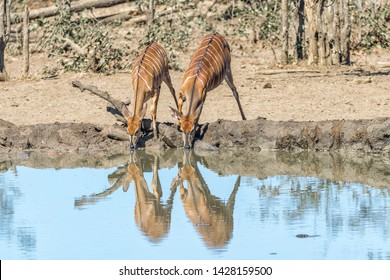 Two nyala cows, Tragelaphus angasii, drinking water in a waterhole