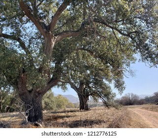 Two oaks by a dirt road, California