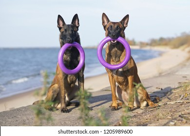 Two obedient Belgian Shepherd Malinois dogs sitting outdoors near a sea holding two puller ring toys