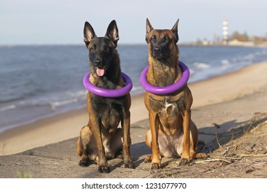 Two obedient Belgian Shepherd Malinois dogs sitting outdoors near a sea wearing two puller ring toys on their necks