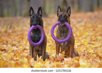 Two obedient Belgian Shepherd Malinois dogs holding puller ring toys in their mouths sitting outdoors on fallen maple leaves in autumn