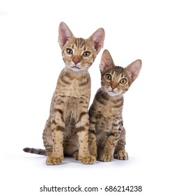 Two Ocicat kittens sitting isolated on white background